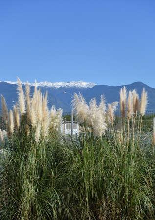 Pampas grass, or cortaderia in the Sochi, Russia