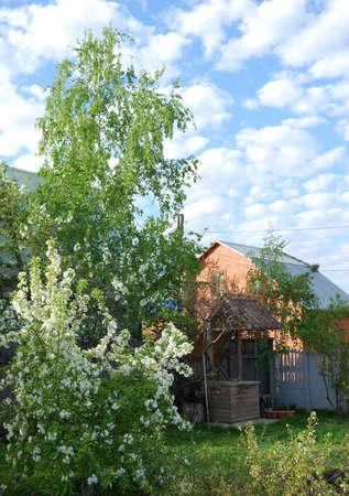 Blooming apple tree in the garden, Omsk region, Siberia
