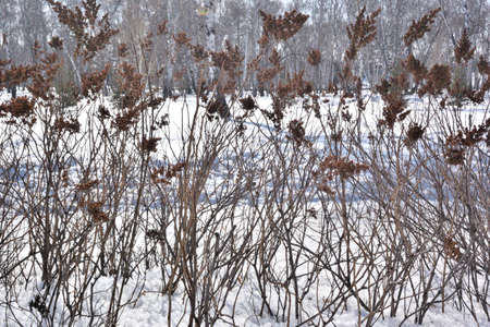 A wall of plants against the background of a winter park, Omsk region