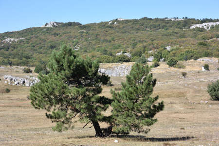 Pines on the plateau of Ai-Petri in the vicinity of Yalta 写真素材
