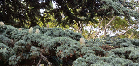 Branch of the Himalayan cedar with cones, of the Nikitsky Botanical Garden, Yalta Crimea Zdjęcie Seryjne