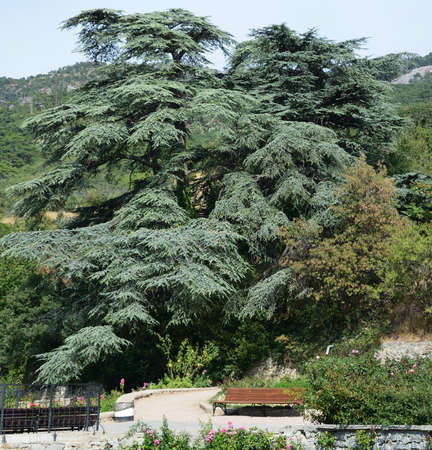 Himalayan cedar with cones, of the Nikitsky Botanical Garden, Yalta Crimea