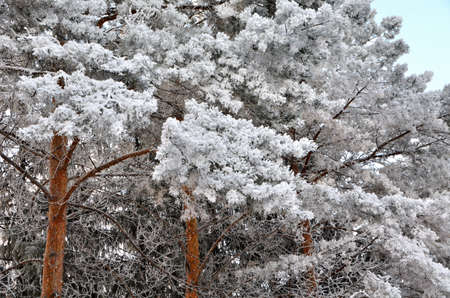 Plants covered with snow, Omsk region, Russia