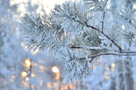 Branches of trees covered with hoarfrost in the first rays of the sun, Omsk region, Russia