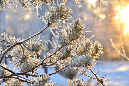 Trees covered with hoarfrost in the first rays of the sun, Omsk region, Russia