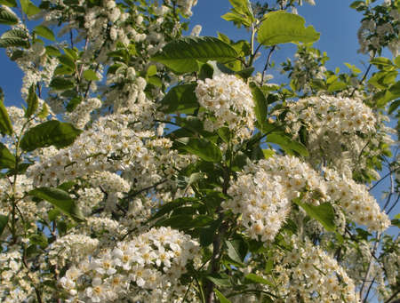 Bird-cherry flower, Omsk region, Siberia, Rossia