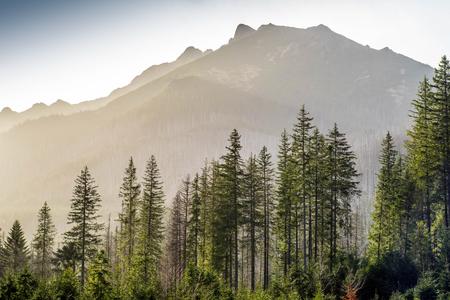 Fascinating landscape of pine forest. Mountain hidden in fog. Stok Fotoğraf