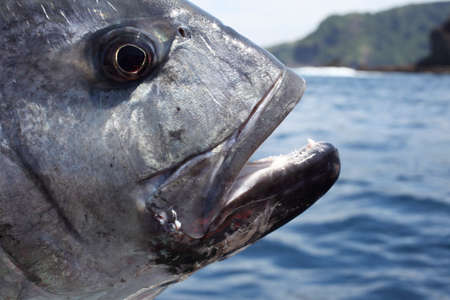 sportfishing: Close up of a head of  caranx