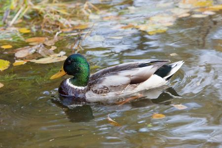 wild duck in water of nature lake in autumn