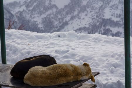 Dogs sleep on the table of a street cafe in a high-mountain resort.