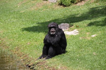 disgruntled: Portugal, Lisbon Zoo disgruntled chimp