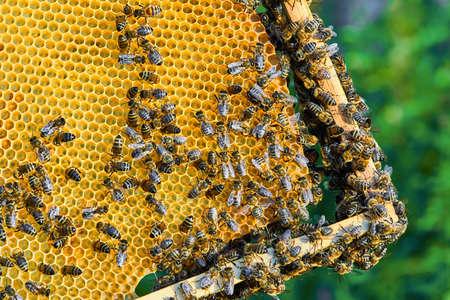 Nahaufnahme der Arbeitsbienen auf der Wabe mit süßem Honig. Honig ist ein gesundes Bienenprodukt.
