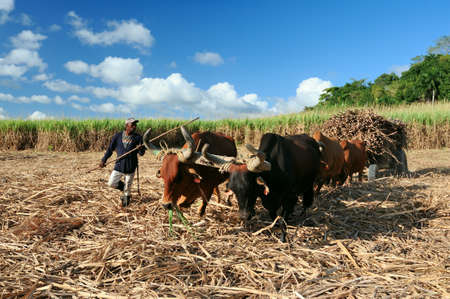 Sugarcane harvest in the Dominican Republic. The Haitian driver drives a Stick with a stimulus, a cart drawn by buffaloes. agricultural image. Dominican Republic El Seibo February 02, 2015. Фото со стока - 139316914
