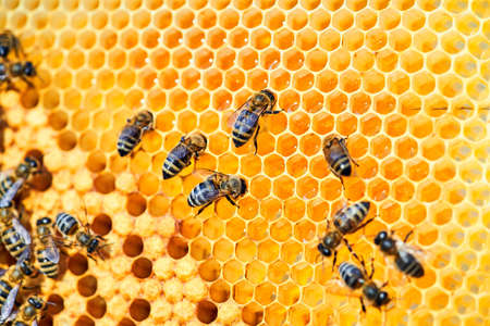 Macro photo of a bee hive on a honeycomb with copyspace. Bees produce fresh, healthy, honey. Beekeeping concept.