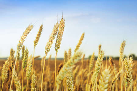 Wheat field. Ears of golden wheat. Beautiful Sunset Landscape. Background of ripening ears. Ripe cereal crop. close up.
