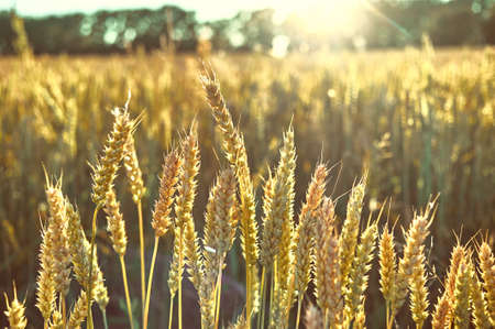Wheat field. Ears of golden wheat. Beautiful Sunset Landscape. Background of ripening ears. Ripe cereal crop. close up