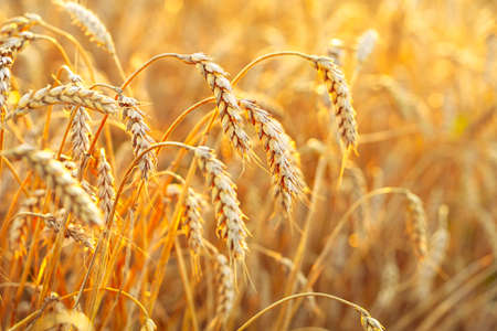 Wheat field. Ears of golden wheat. Beautiful Sunset Landscape. Background of ripening ears. Ripe cereal crop. close
