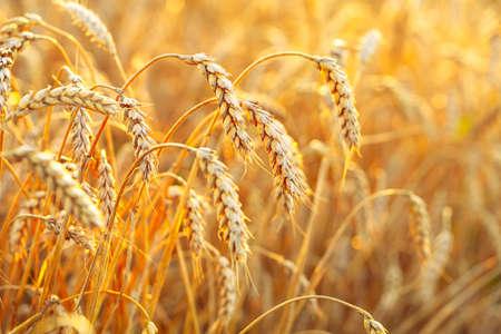 Champ de blé. Épis de blé doré. Beau paysage de coucher de soleil. Fond d'oreilles de maturation. Récolte de céréales mûres. proche