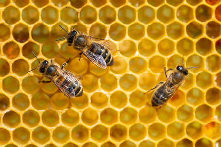 Close-up of working bees on honeycombs. Beekeeping and honey production image.