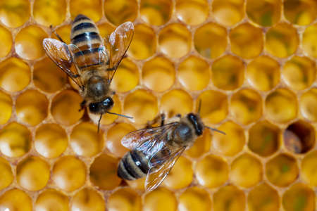 Close-up of working bees on honeycombs. Beekeeping and honey production image