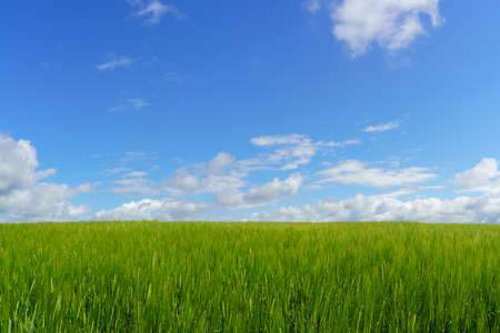 Fresh green barley field and blue cloudy sky. ideal for nature background