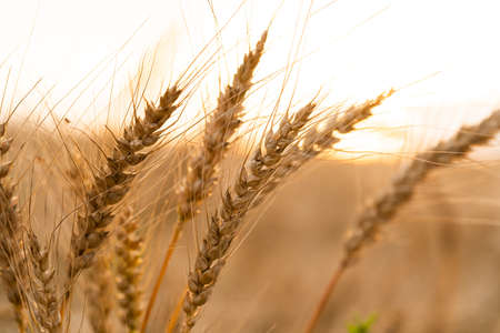 Agricultural field. Ripe ears of wheat on the background of the sunset. The concept of a rich harvest.