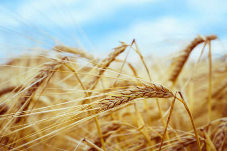 Agricultural field. Ripe ears of barley. The concept of a rich harvest.