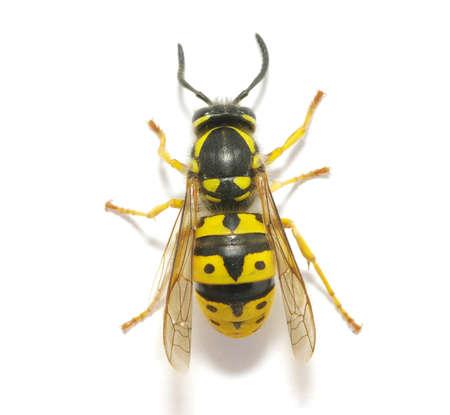 miel et abeilles: WASP isol� sur fond blanc