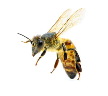 miel de abeja: Abeja en volar en blanco