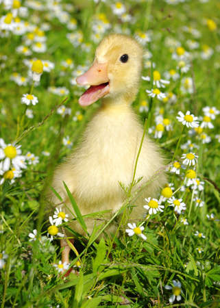 baby duck in the grass  photo