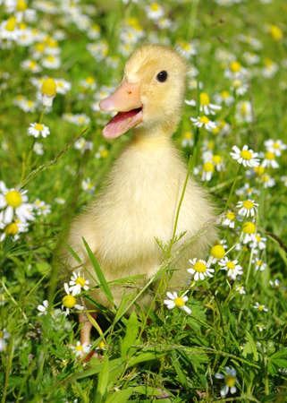 pollitos: Pato de beb� en la hierba  Foto de archivo