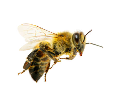 honey bee: bee in flying on white Stock Photo