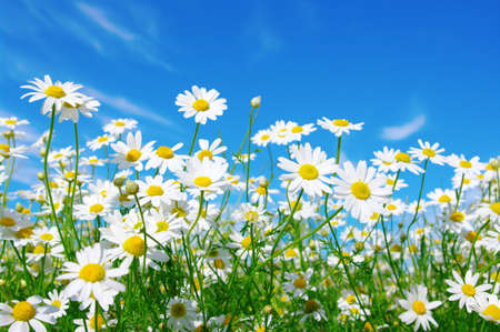 chamomile flower: white daisies on blue sky background
