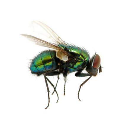 fluga: grön fluga isolerad på vitt Stockfoto