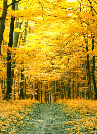 gold road: Colorful autumn trees in forest