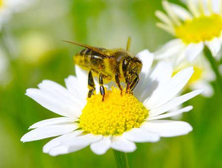 abeja: Abeja en la flor de manzanilla Foto de archivo