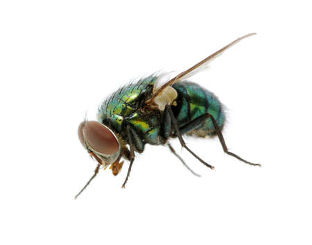 green fly isolated on white Stock Photo - 10623774