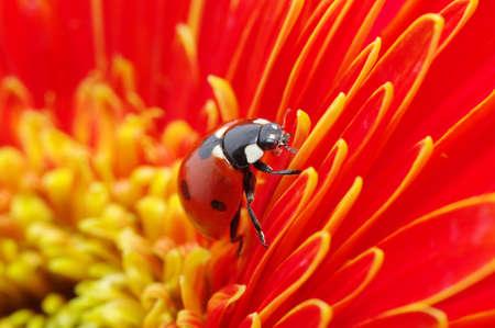 flower ladybug: The ladybug sits on a flower petal Stock Photo