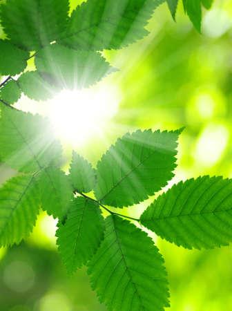 słońce: Promienie słoneczne i zielone liście Zdjęcie Seryjne