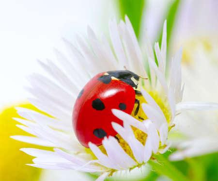 The ladybug sits on a flower petal photo