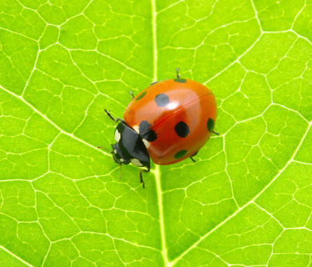 ladybug sitting on a green leaf Stock Photo - 11955559