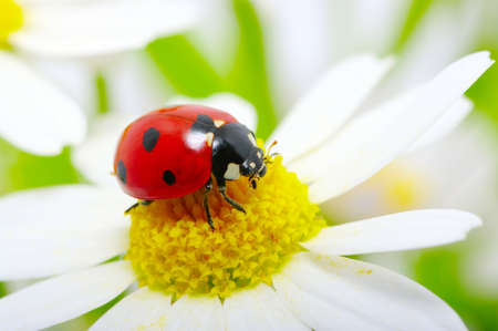 ladybug sits on a flower photo