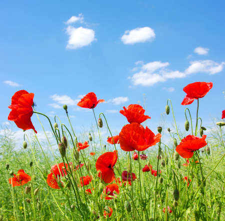poppy field: red poppies on green field Stock Photo
