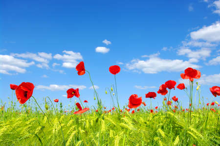 red poppies on green field Stock Photo - 12370560