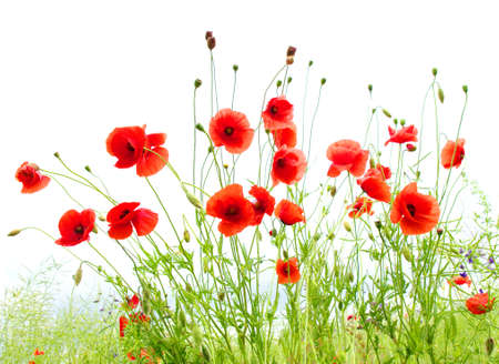 red poppies isolated on white Stock Photo - 12370545