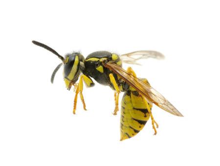 Wespe auf weißem Hintergrund