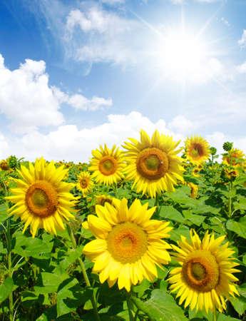 semillas de girasol: girasoles campo en el cielo azul nublado