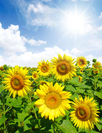 sunflower field: sunflowers field on cloudy blue sky