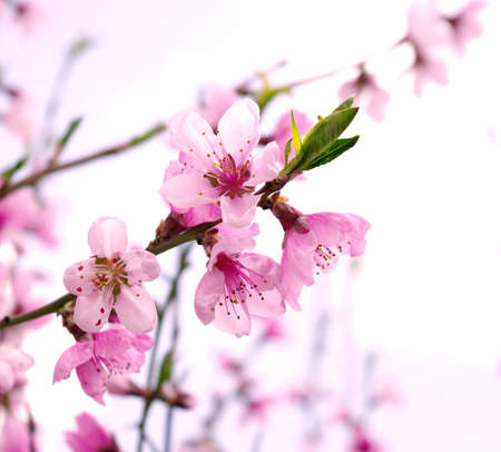 flor de durazno: Rama con flores de color rosa sobre fondo blanco Foto de archivo