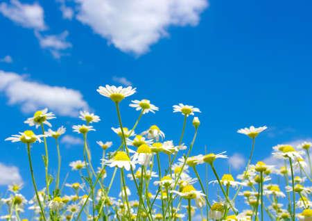 white daisies on blue sky background  photo
